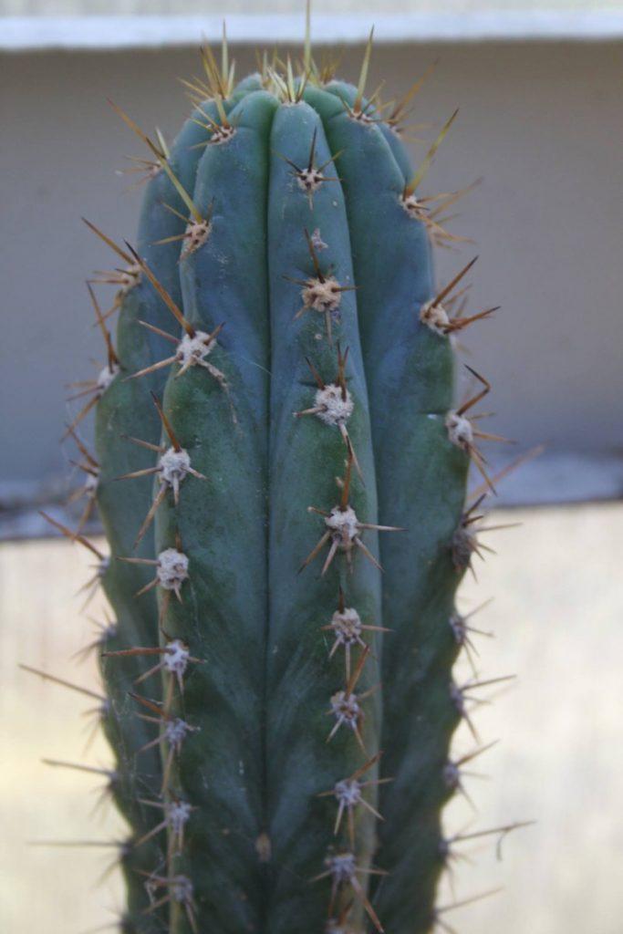 Trichocereus glaucus Echinopsis glauca Patrick Noll