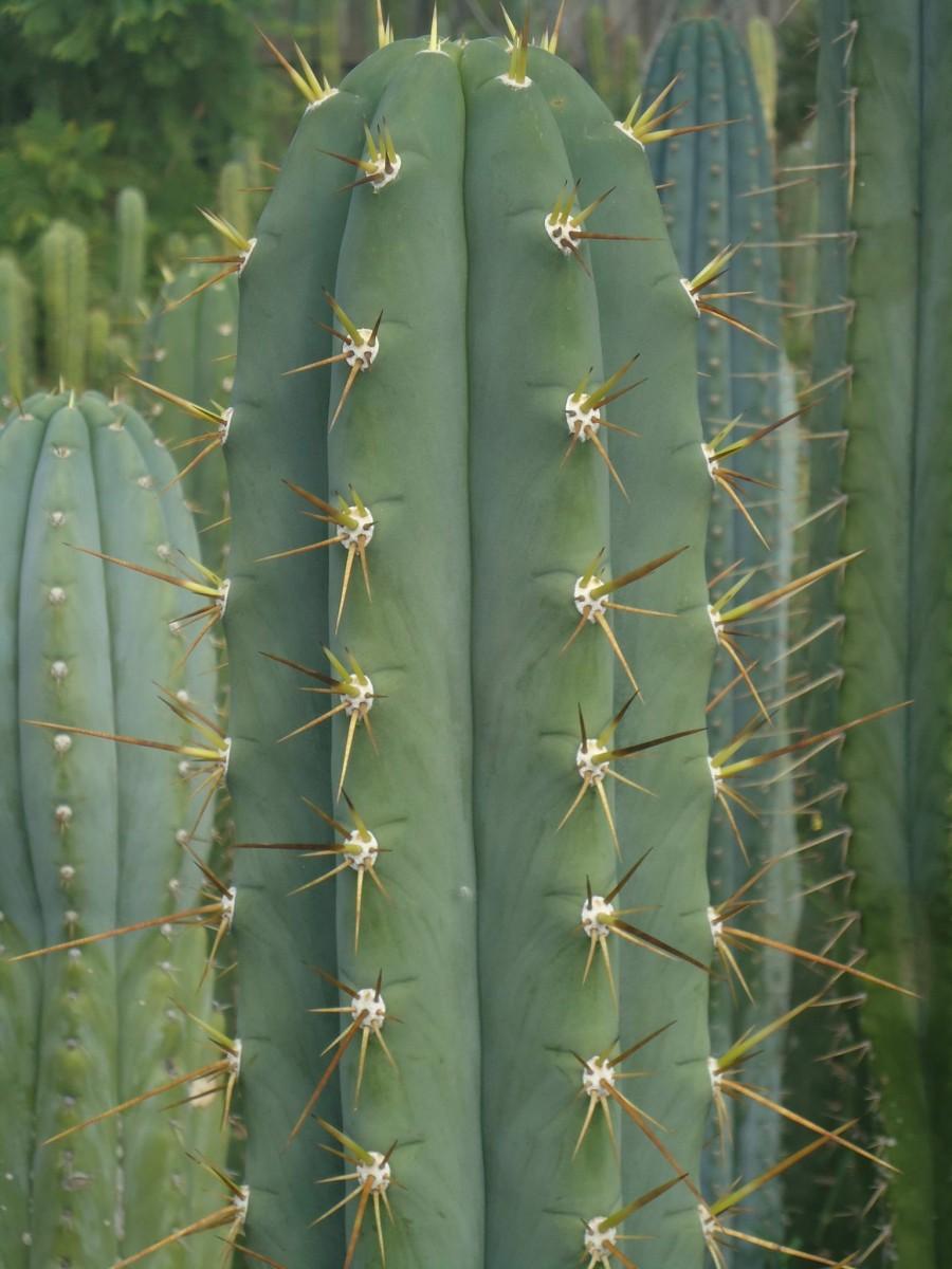 Trichocereus glaucus Echinopsis glauca Rodni Kisar
