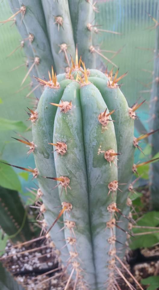 Trichocereus glaucus Echinopsis glauca Sebastian Preiss
