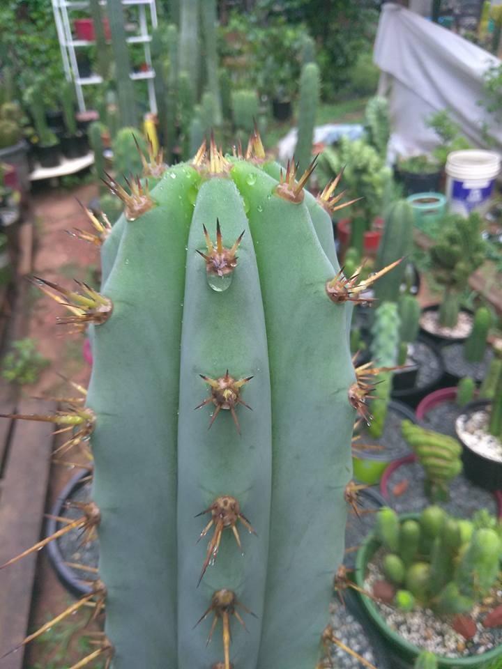 Trichocereus glaucus Echinopsis glauca Wild Andes Jeremy Jones (2)