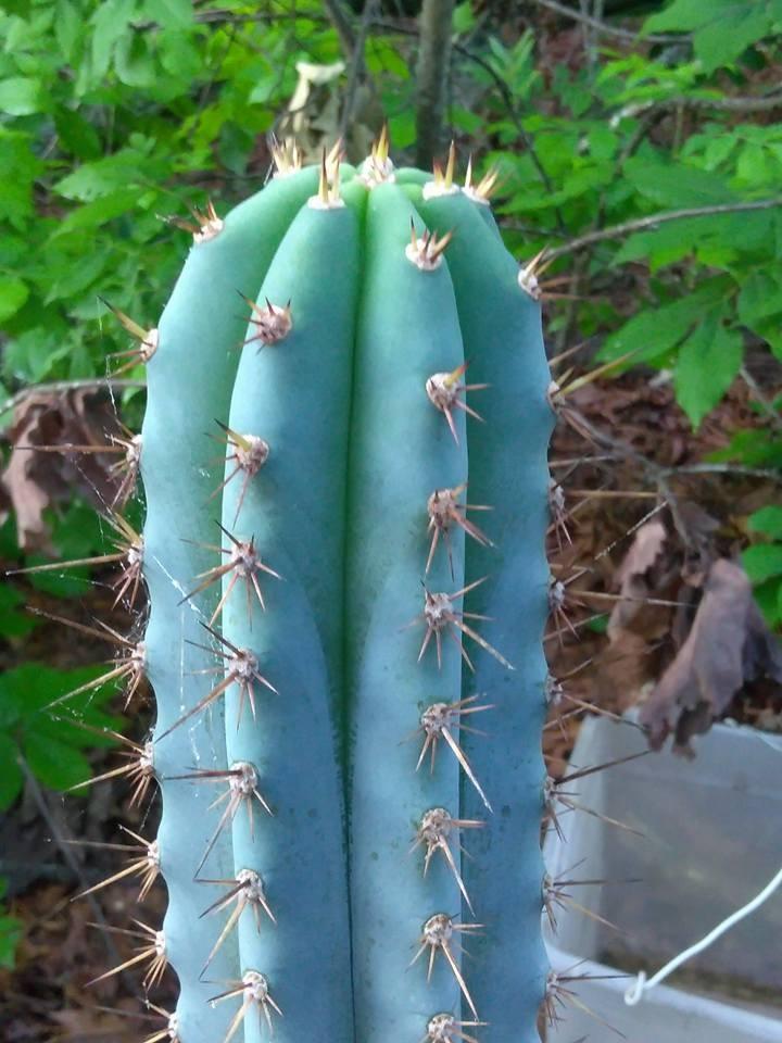 Trichocereus glaucus Echinopsis glauca Wild Andes Jeremy Jones (4) 2