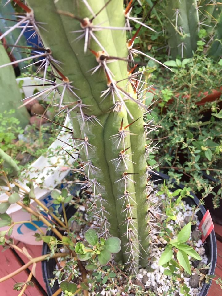 Trichocereus glaucus Sacred Succulents Jeffrey Alaback