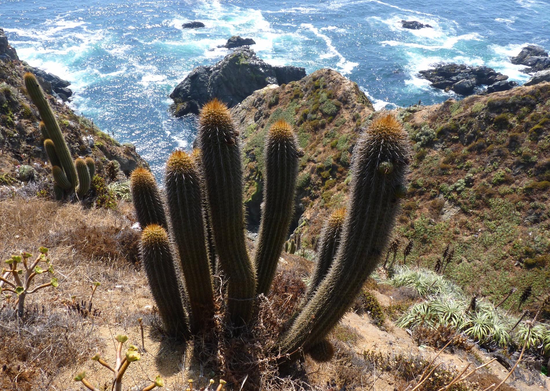 Trichocereus litoralis Echinopsis chiloensis ssp. litoralis 76