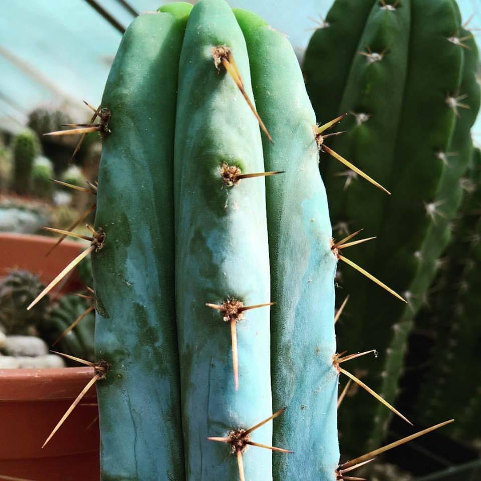 Trichocereus macrogonus - Echinopsis macrogona