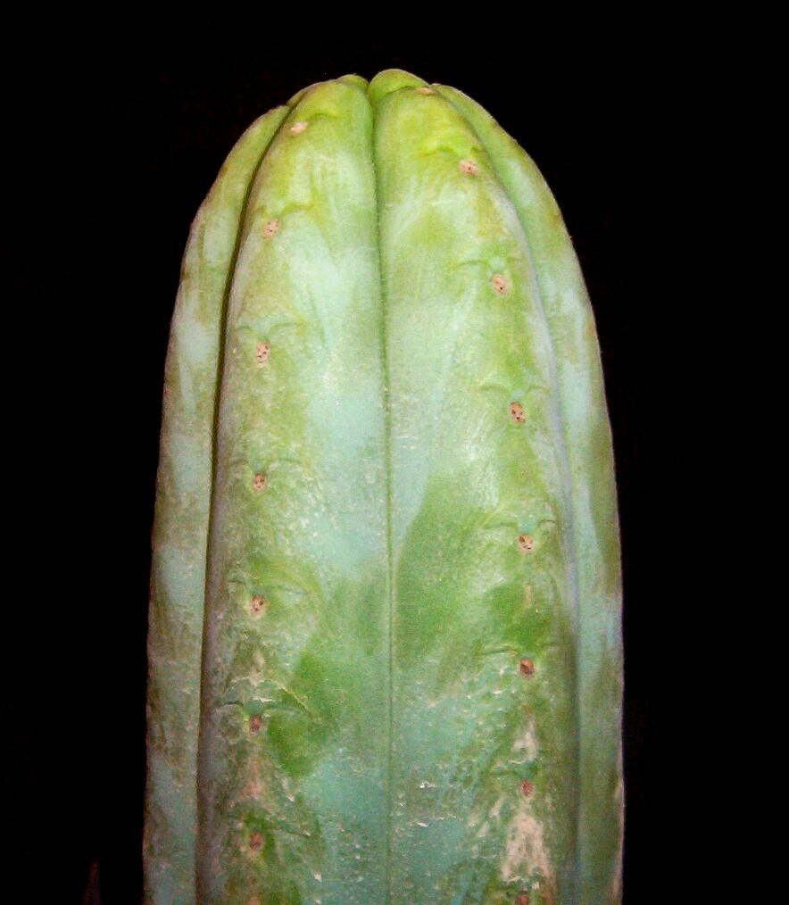 Trichocereus pachanoi Ecuador
