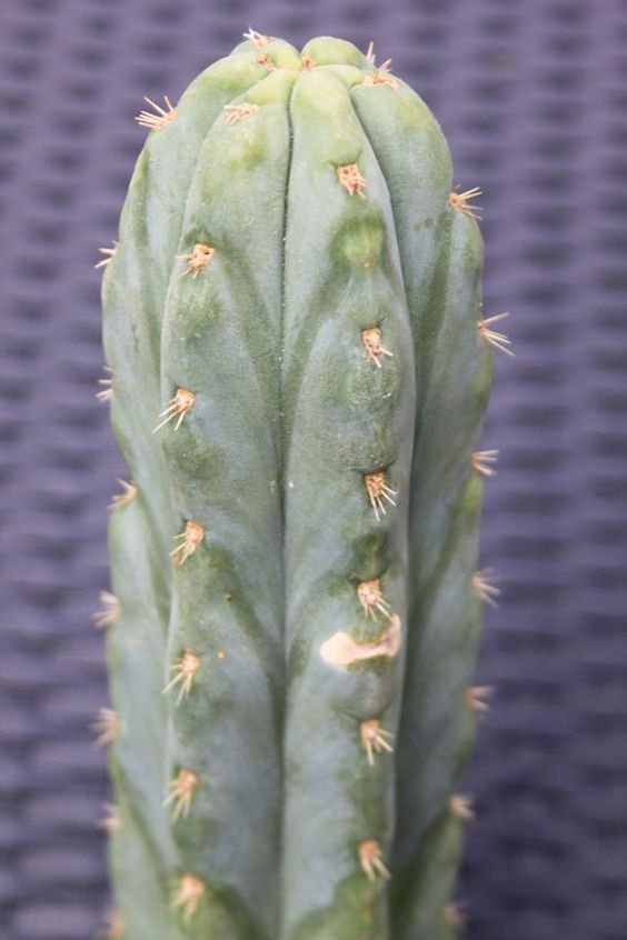 Trichocereus peruvianus Echinopsis peruviana Ayacucho