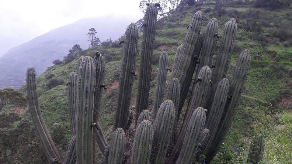 Trichocereus peruvianus Collana Pichu Peru Echinopsis macrogona