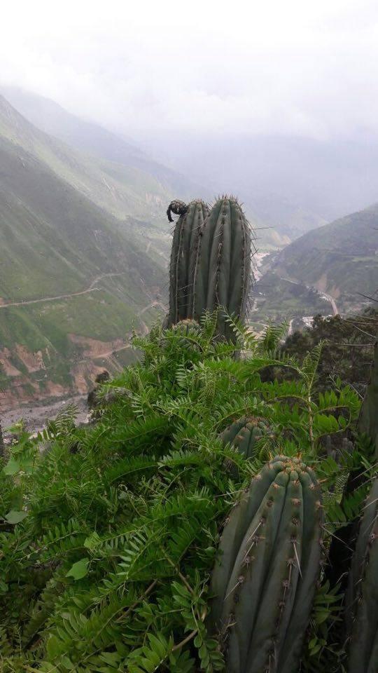 Echinopsis macrogona / Trichocereus macrogonus peruviana peruvianus Collana Pichu in Matucana 15