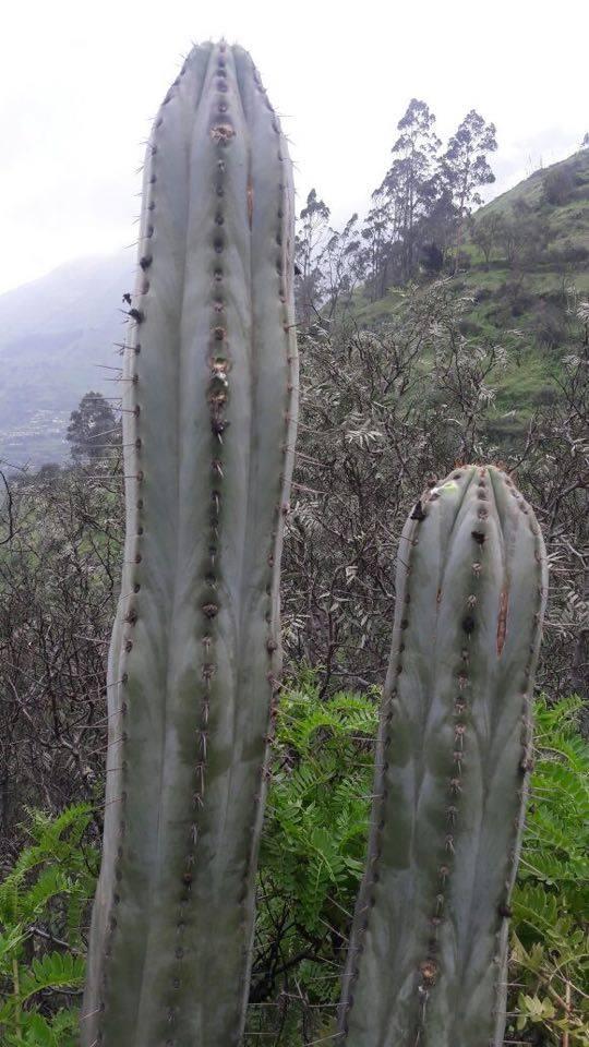 Echinopsis macrogona / Trichocereus macrogonus peruviana peruvianus Collana Pichu in Matucana 20