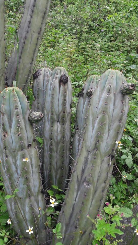 Echinopsis macrogona / Trichocereus macrogonus peruviana peruvianus Collana Pichu in Matucana 6