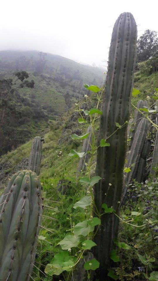 Echinopsis macrogona / Trichocereus macrogonus peruviana peruvianus Collana Pichu in Matucana 2