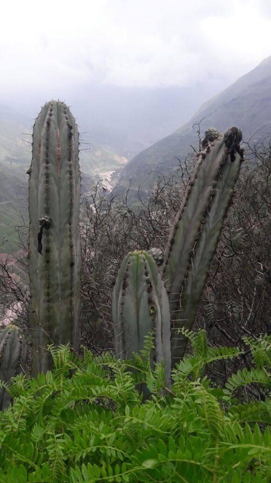 Echinopsis macrogona Peru photos Trichocereus