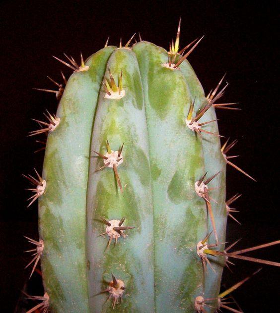 Trichocereus peruvianus Apurimac KK1689