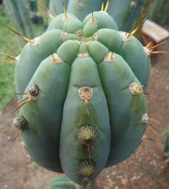 Trichocereus peruvianus 'Rosei 1' (Rodni Kisar)