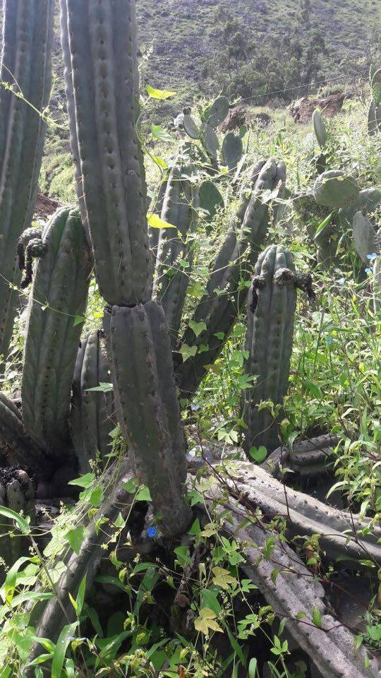 Trichocereus macrogonus Echinopsis macrogona Huariquina Matucana Peruvianus 12