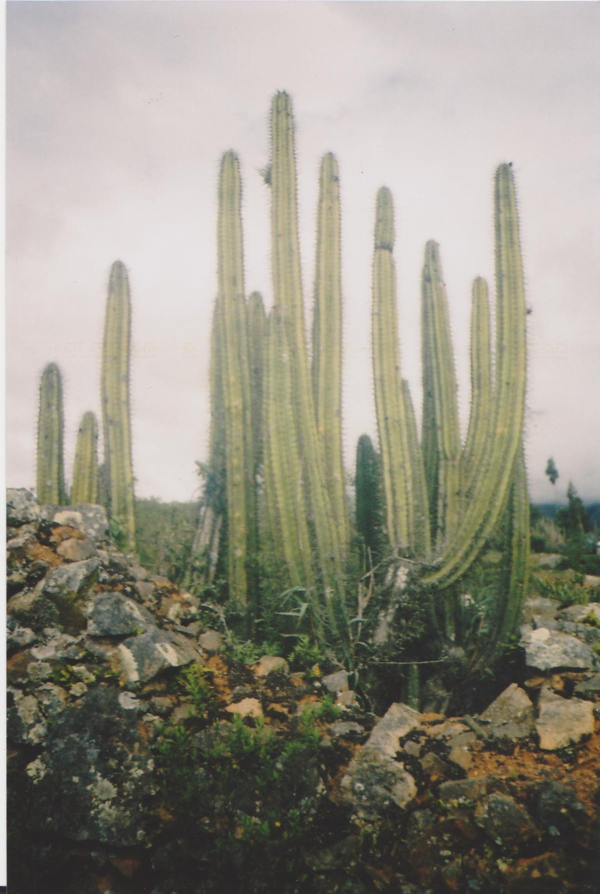 Columnar Cactus Cacti Tarma
