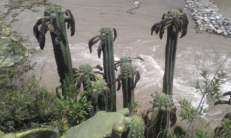 Echinopsis santaensis Trichocereus santaensis Rio Santa Riley Flatten