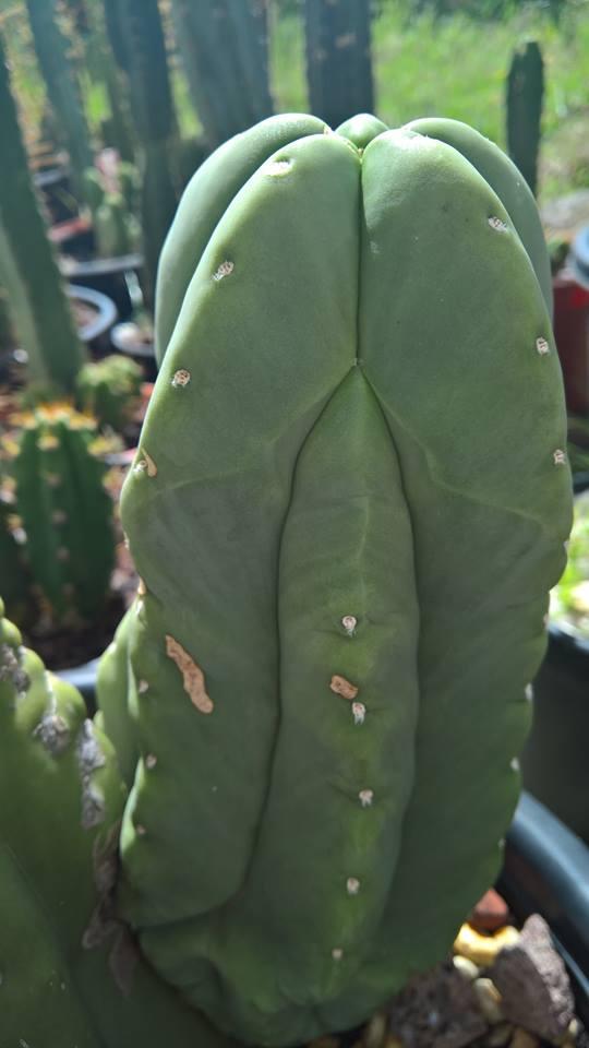 Trichocereus scopulicola FR991 Australia Jon