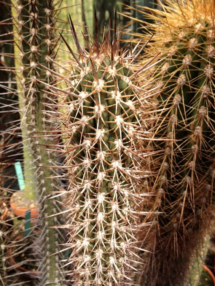 Trichocereus skottsbergii Echinopsis chiloensis skottsbergii Ulrich Hörner (2)