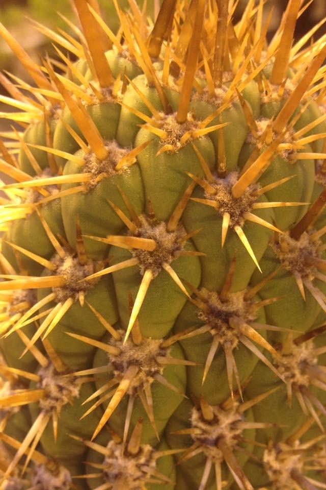 Trichocereus skottsbergii Echinopsis chiloensis skottsbergii Ulrich Hörner (3)
