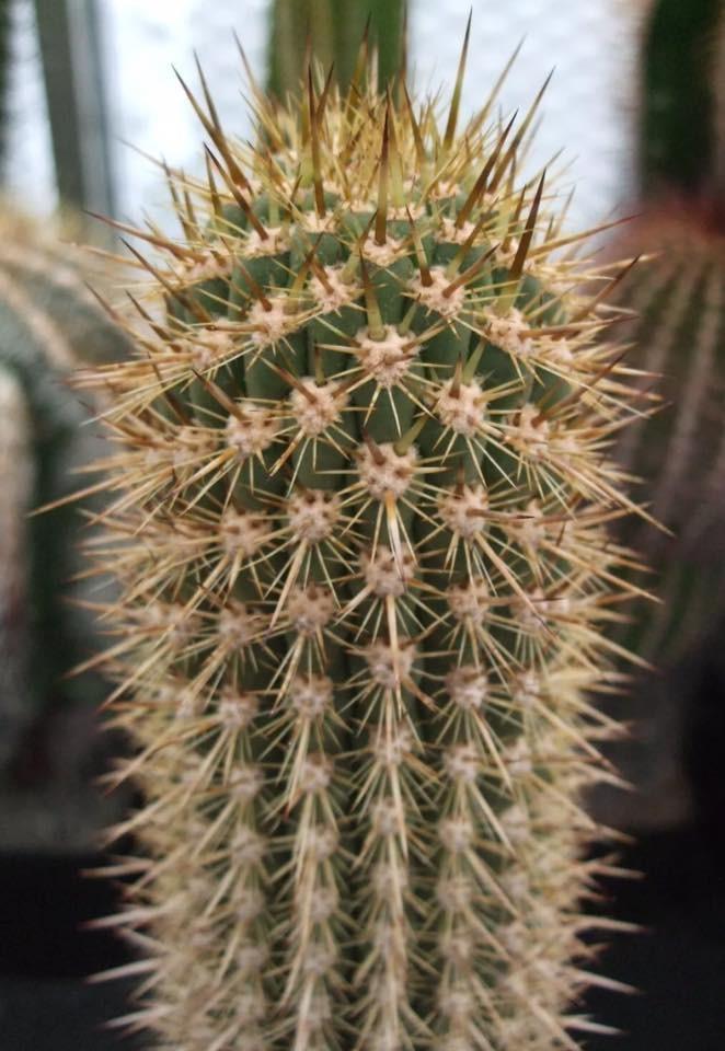 Trichocereus skottsbergii Echinopsis chiloensis skottsbergii Ulrich Hörner (4)