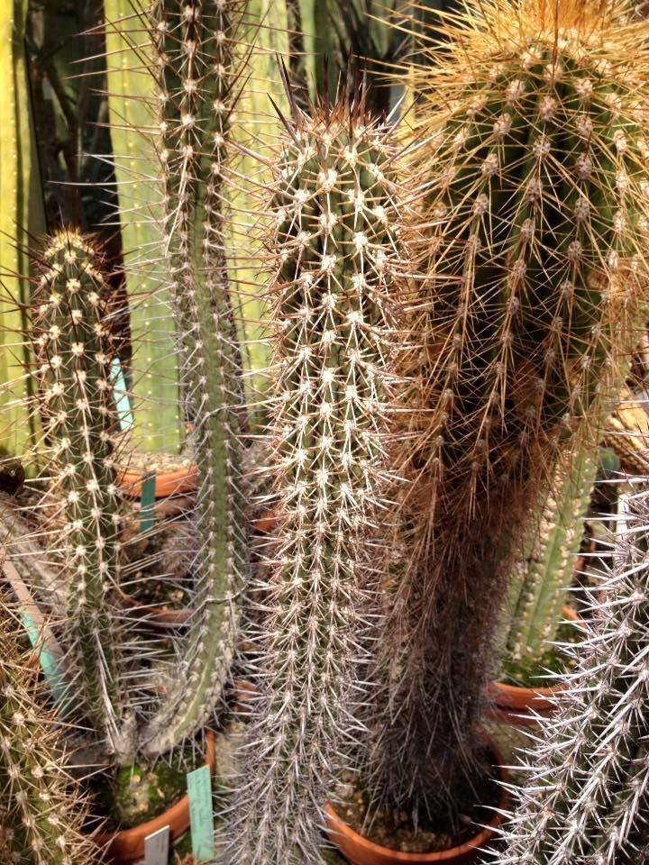 Trichocereus skottsbergii Echinopsis chiloensis skottsbergii Ulrich Hörner