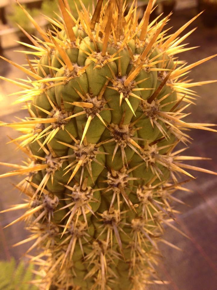 Trichocereus skottsbergii Trichocereus chiloensis Ulrich Hörner