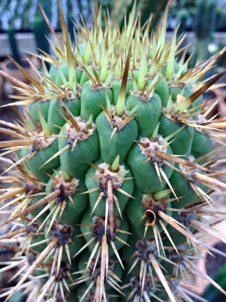 Trichocereus skottsbergii Echinopsis chiloensis ssp. skottsbergii Ulrich Hörner (5)