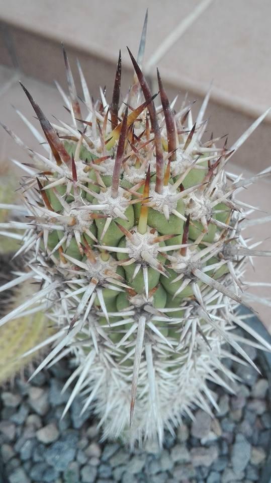 Trichocereus skottsbergii Trichocereus chiloensis Pedro Lopez Artes (6)