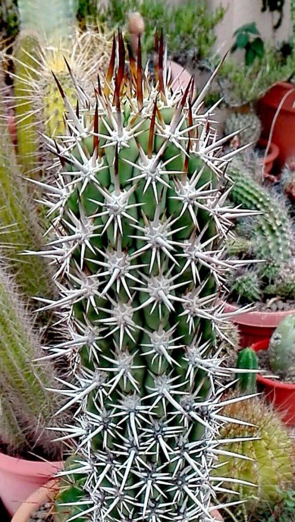 Trichocereus skottsbergii Trichocereus chiloensis Pedro Lopez Artes (9)