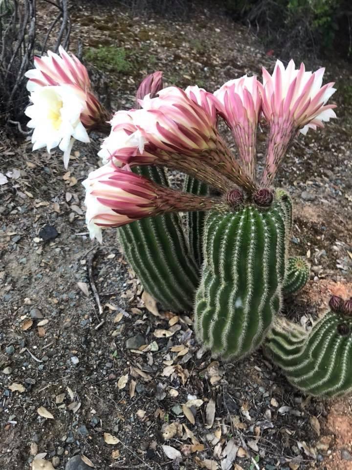 Trichocereus smrzianus Echinopsis smrziana Leanne Kelly (3)