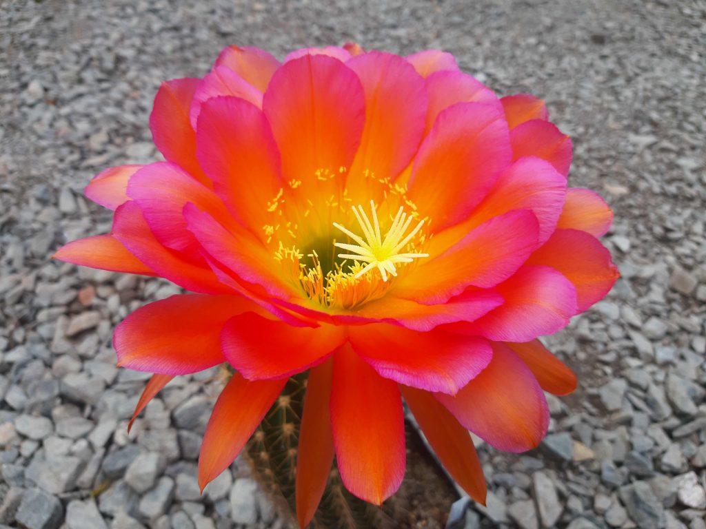Trichocereus Volta Lake x Cantora Gelb Flower cactus cacti seeds