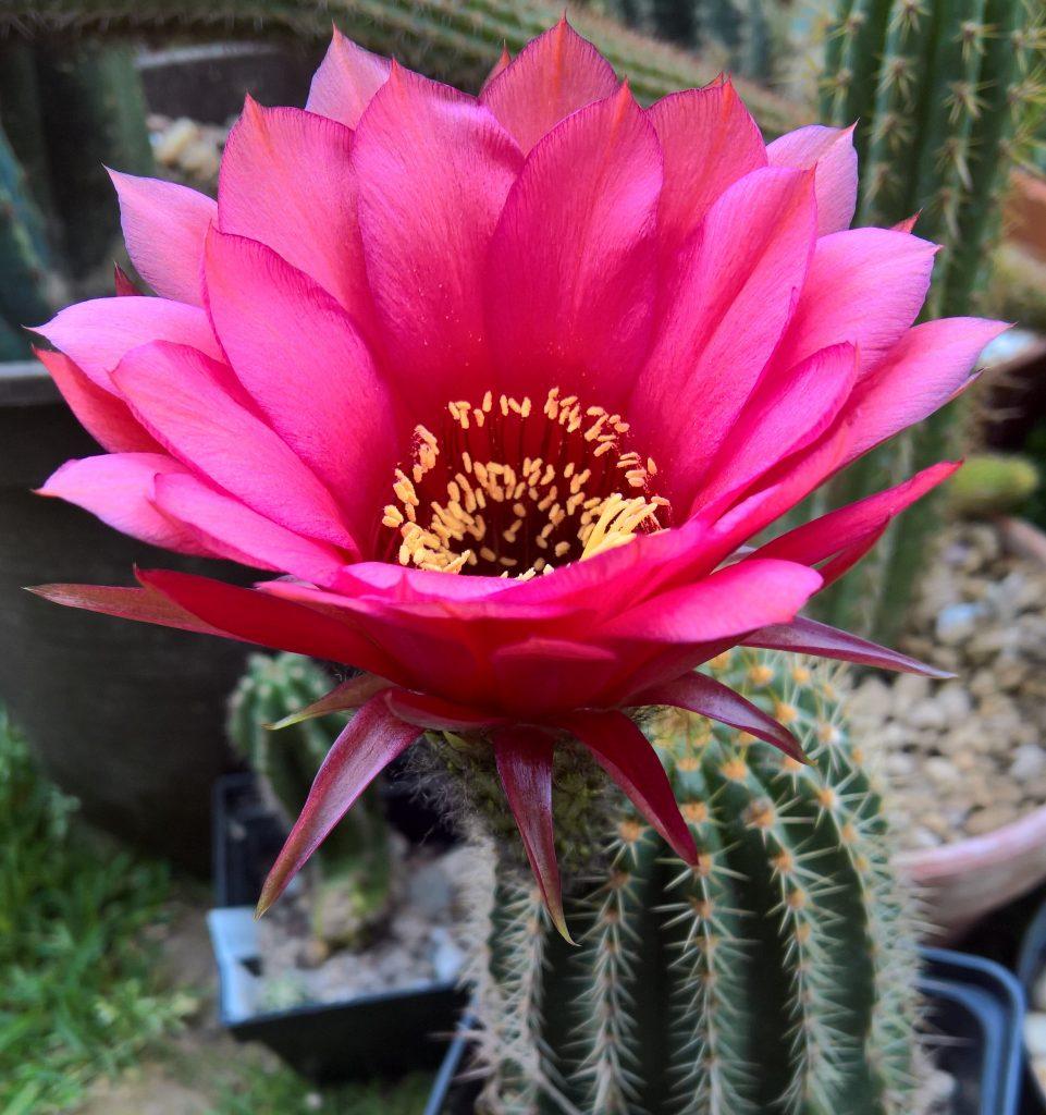 Trichocereus shop cactus seeds