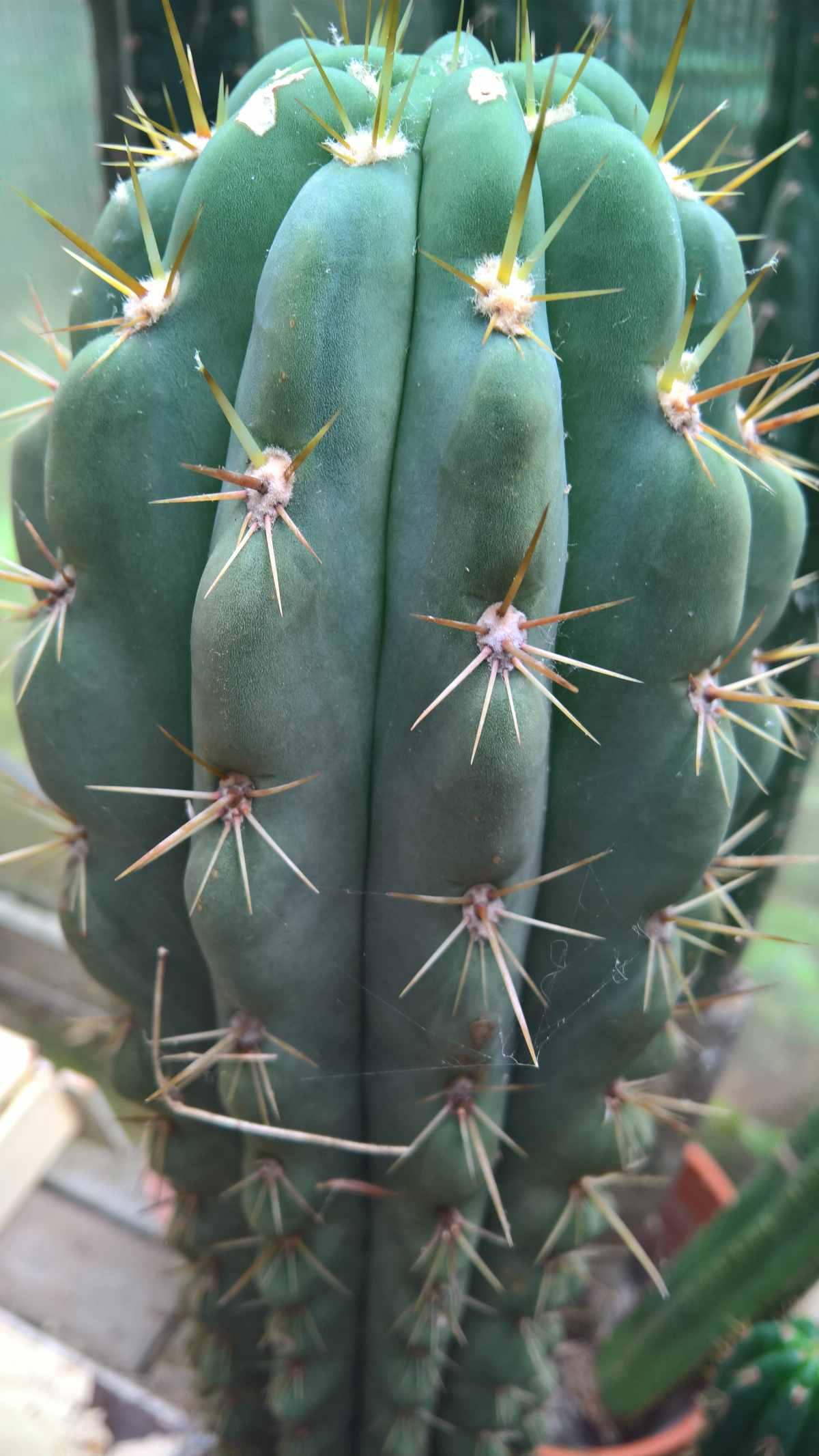 Trichocereus werdermannianus Seeds Samen Echinopsis