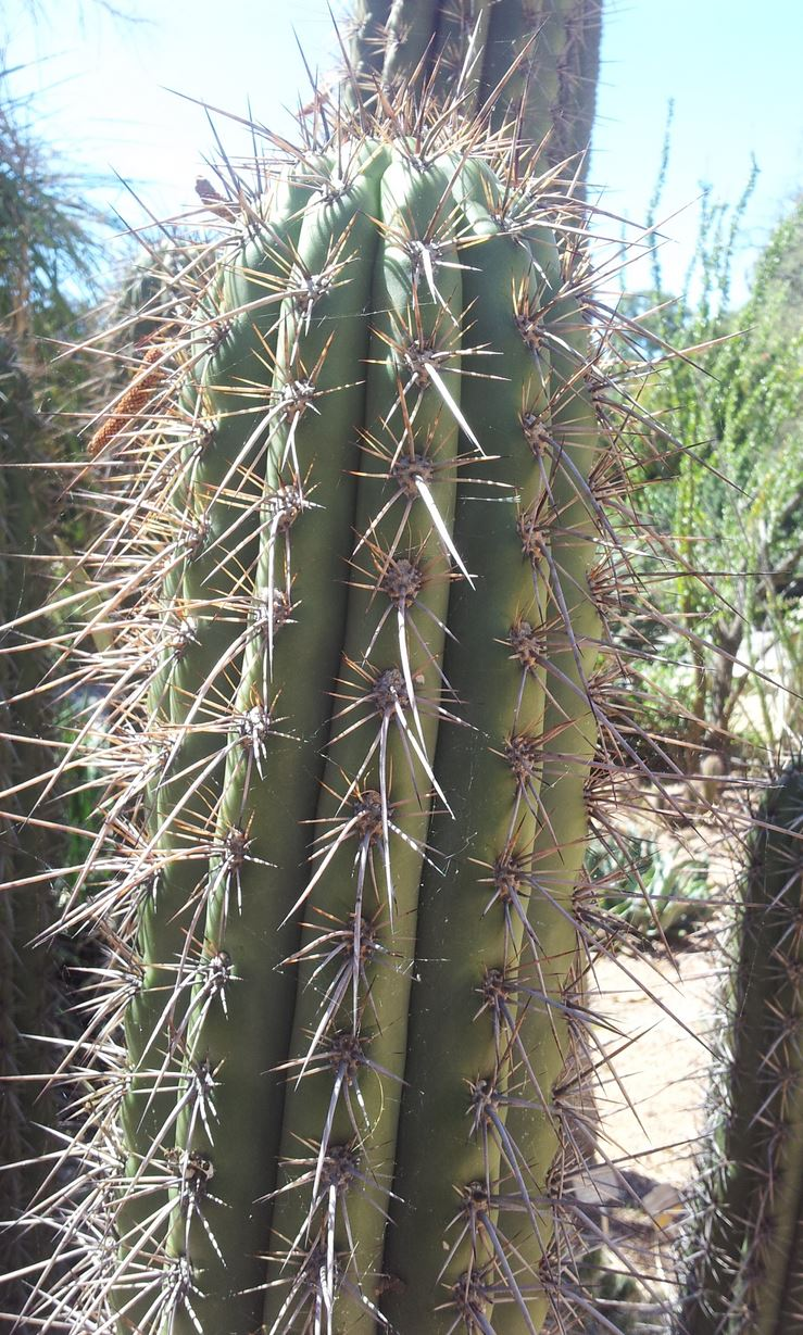 Trichocereus werdermannianus Echinopsis werdermanniana Adelaide Gus 4