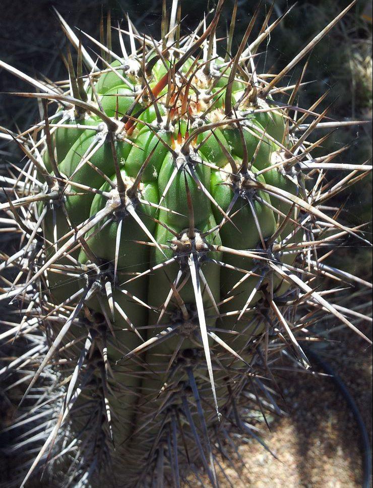 Trichocereus werdermannianus Echinopsis werdermanniana Adelaide Gus
