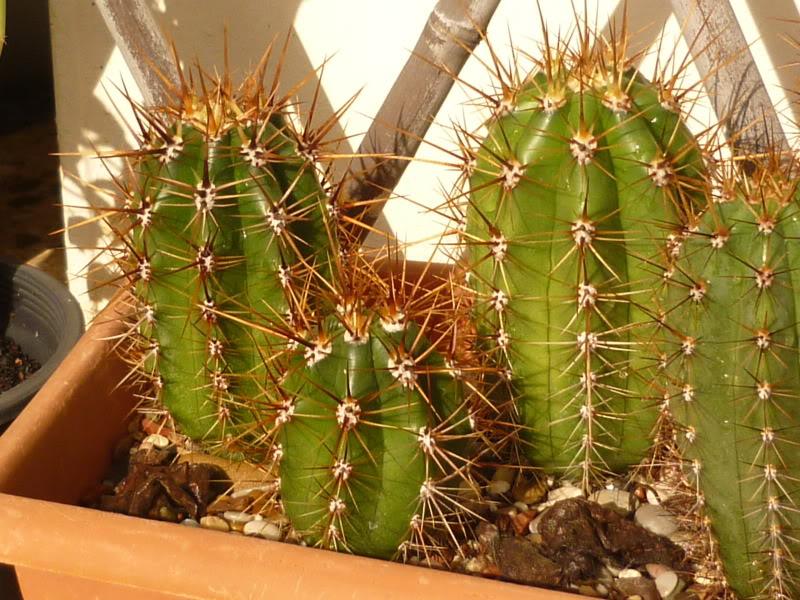 Trichocereus werdermannianus Echinopsis werdermanniana Taquimbalensis