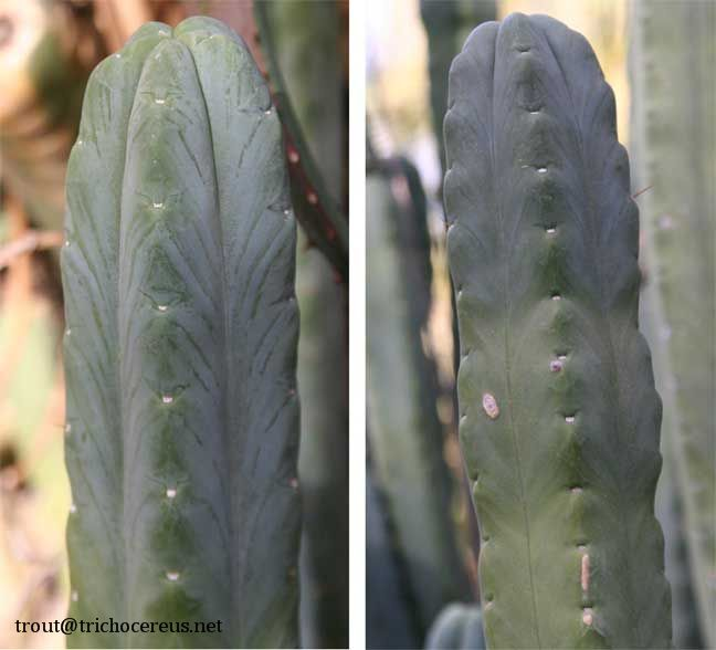 Spineless Trichocereus bridgesii Echinopsis lageniformis