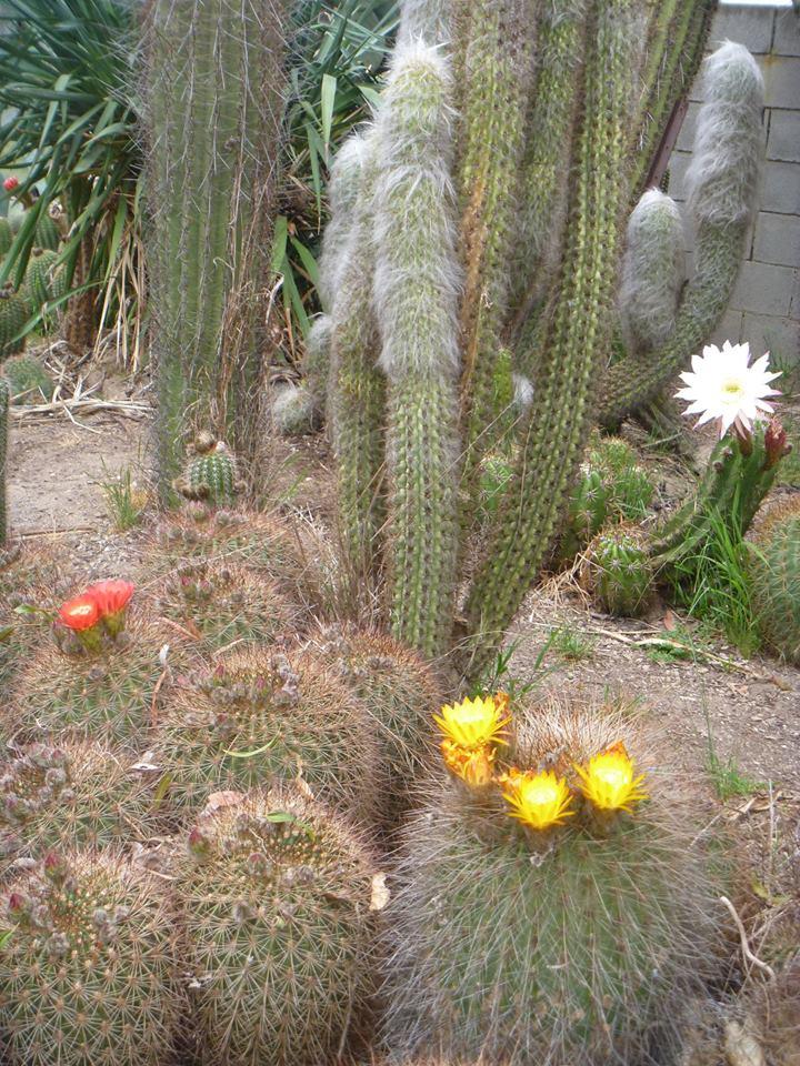 Trichocereus sp. Best Yellow seeds Samen
