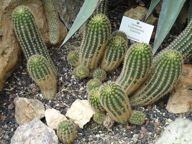 Trichocereus grandiflorus Echinopsis Trichocereus rowleyi