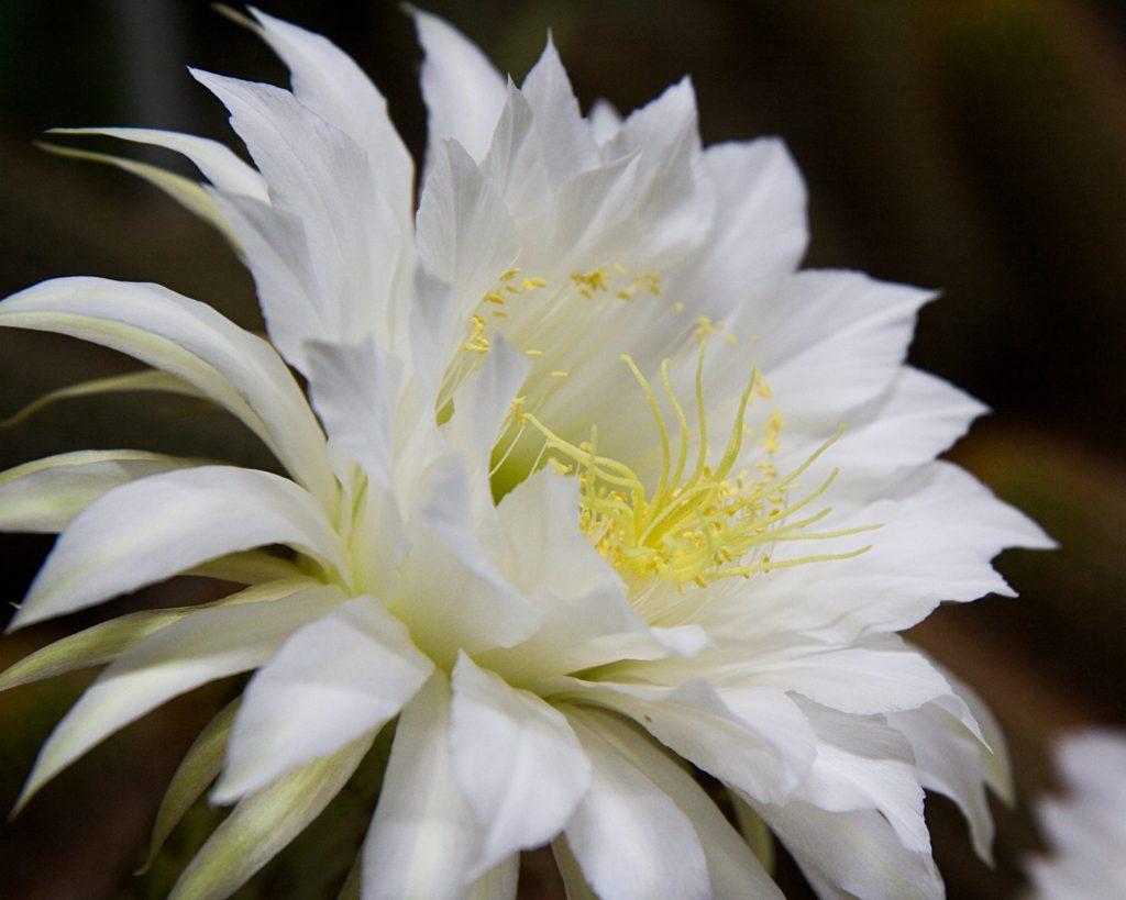 by Ikiwaner Echinopsis