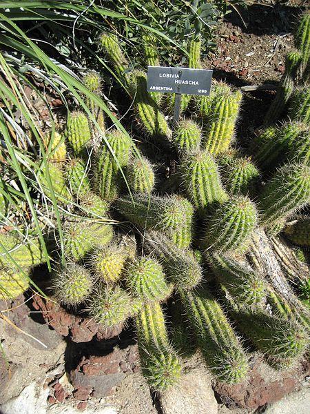 Trichocereus huascha Echinopsis huascha Soehrensia Helianthocereus by Raffi Kojan Gardenology.org