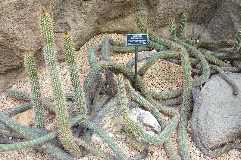 by daderot Echinopsis_camarguensis_-_Brooklyn_Botanic_Garden_-_Brooklyn,_NY_-_DSC08064