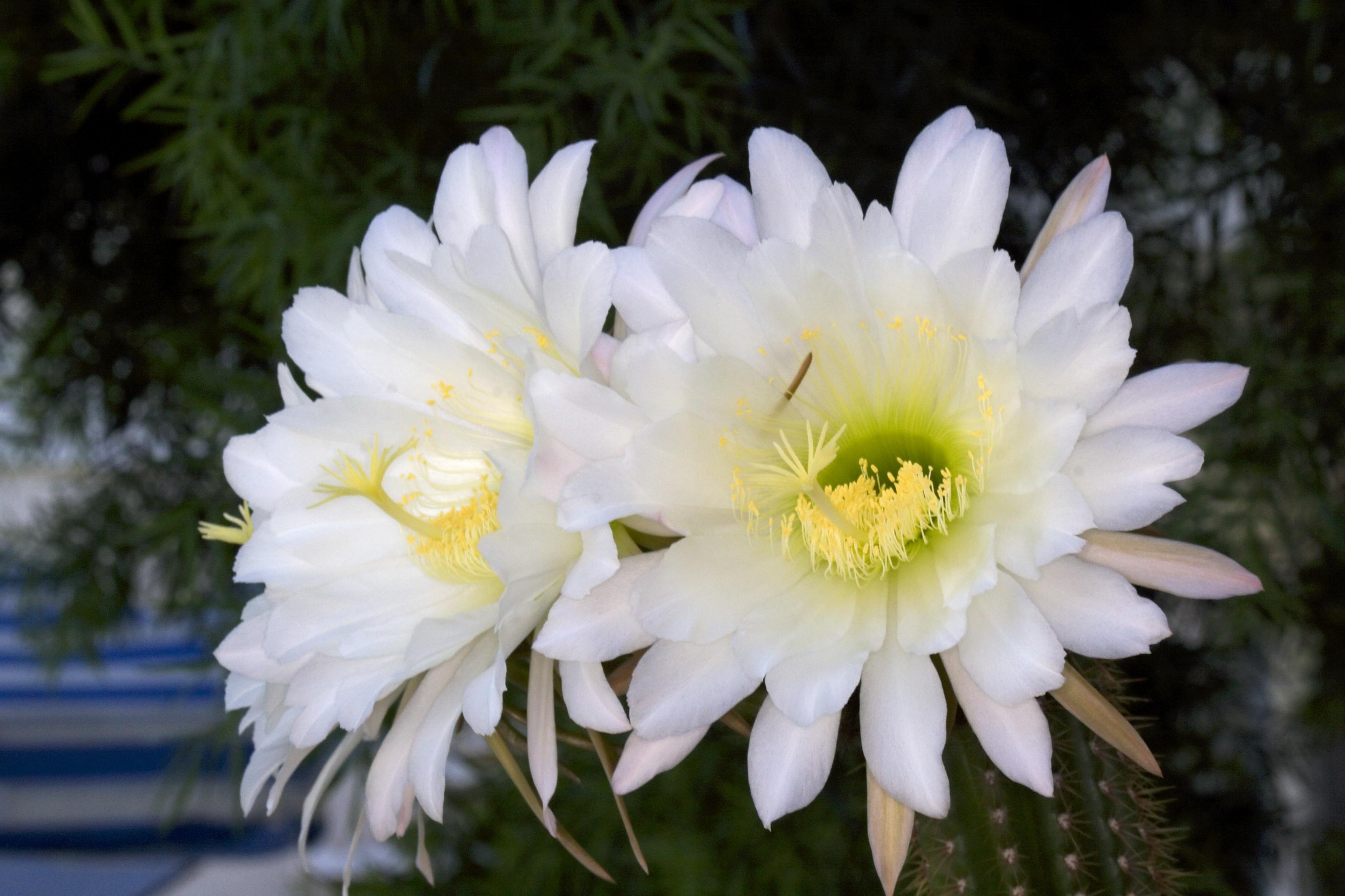 by z2amiller Echinopsis_spachiana