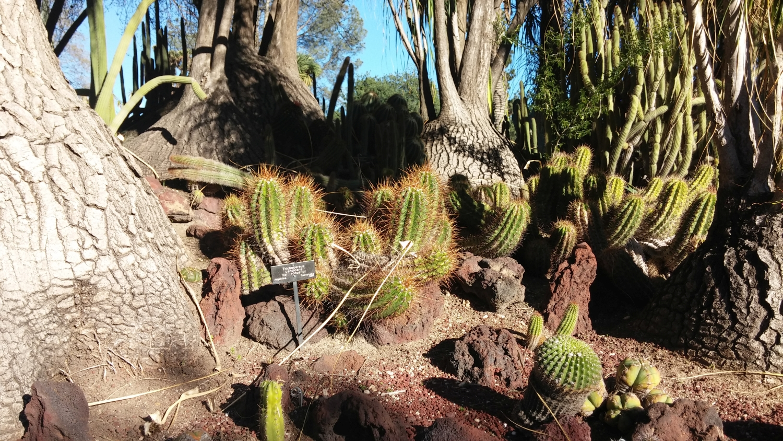 echinopsis candicans var. robustus