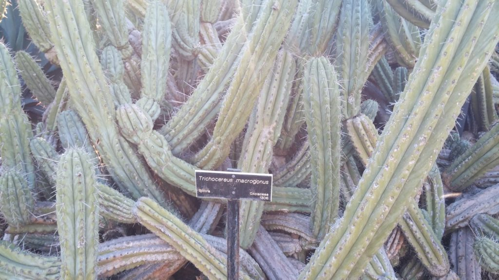 echinopsis macrogona trichocereus macrogonus Huntington Botanical Garden HBG