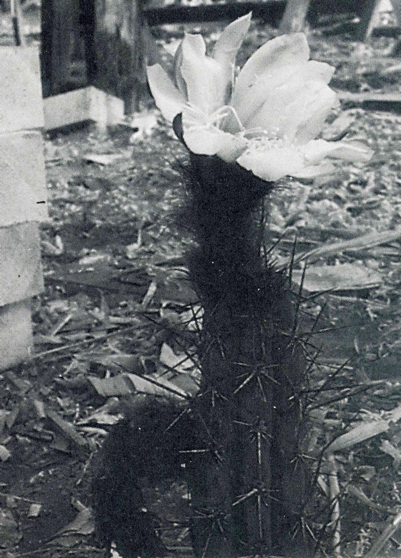 Trichocereus glaucus Echinopsis glauca Friedrich Ritter original photo