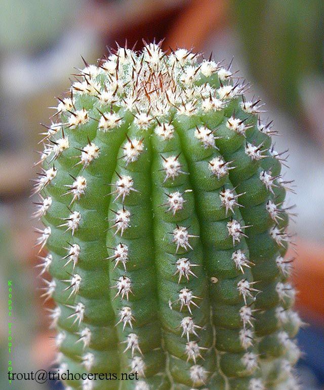 harrissima 09 Trichocereus brevispinulosus