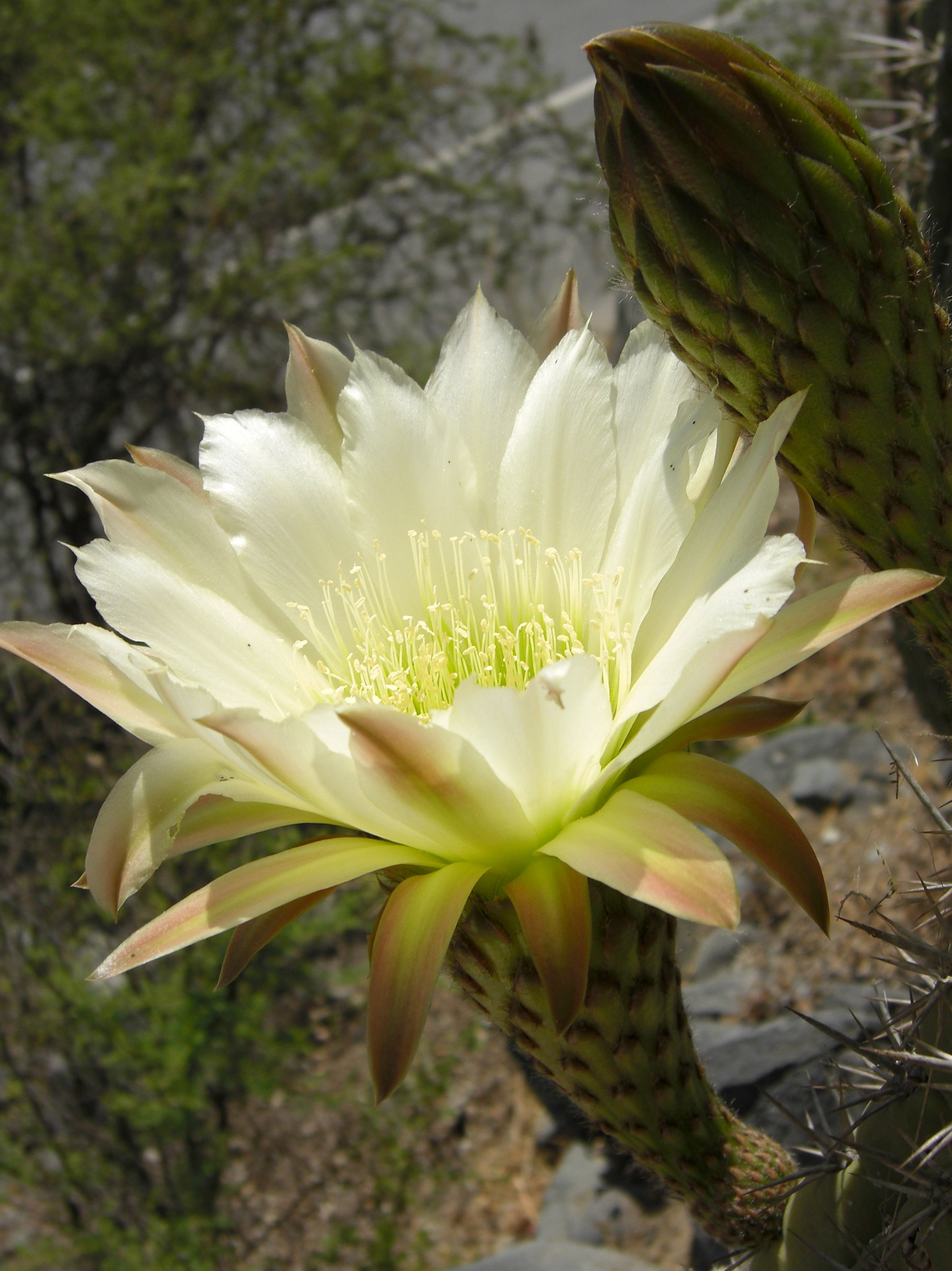 jason hollinger Photo flower of trichocereus chiloensis chilensis Echinopsis chiloensis