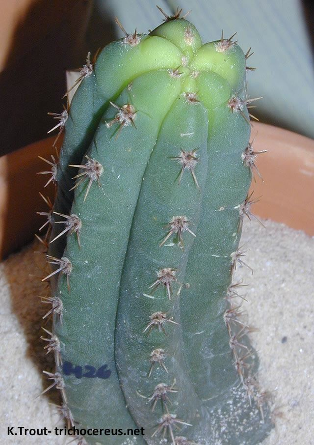 kk340 TrichocereusPeruvianus San Pedro jpg